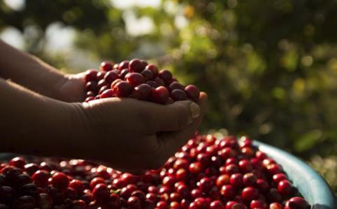 café de Guatemala recién cosechado